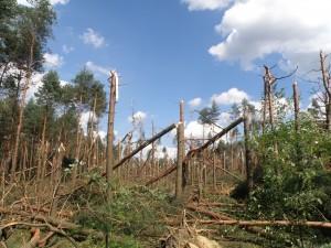 Typowe zniszczenia w drzewostanie związane z oddziaływaniem wiatru prostoliniowego (fot. Wojciech Pilorz)