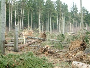 """Drzewa powalone przez silny wiatr w trakcie przechodzenia nad Polską układu niskiego ciśnienia """"Cyryl"""" (źródło: Regionalna Dyrekcja Lasów Państwowych we Wrocławiu)"""